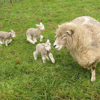 Romney_sheep,_ewe_with_triplet_lambs_in_New_Zealand