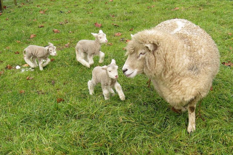 Romney_sheep,_ewe_with_triplet_lambs_in_New_Zealand